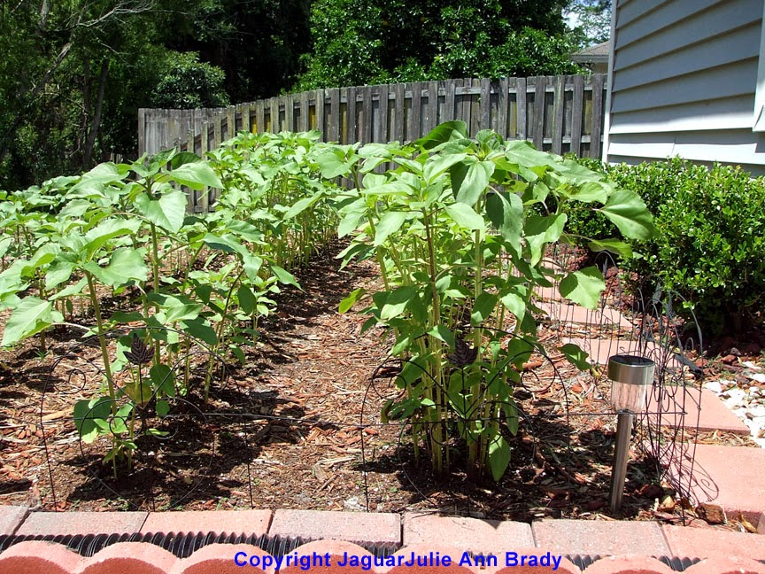 Sunflower Plant Height of Twenty-Four Inches at 43 Days ~ JaguarJulie