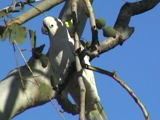 wild cockatoo cacatoes sauvage