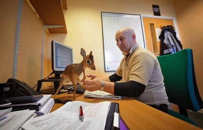 Dik-Dik — A Miniature Antelope