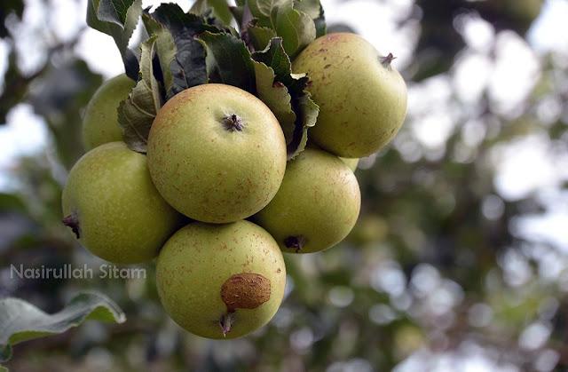 Buah Apelnya banyak banget