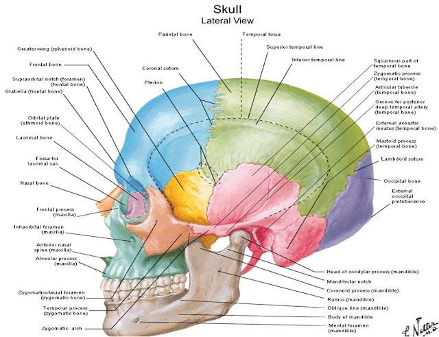 Scalp Anatomy Pictures 8187364 Follow4morefo