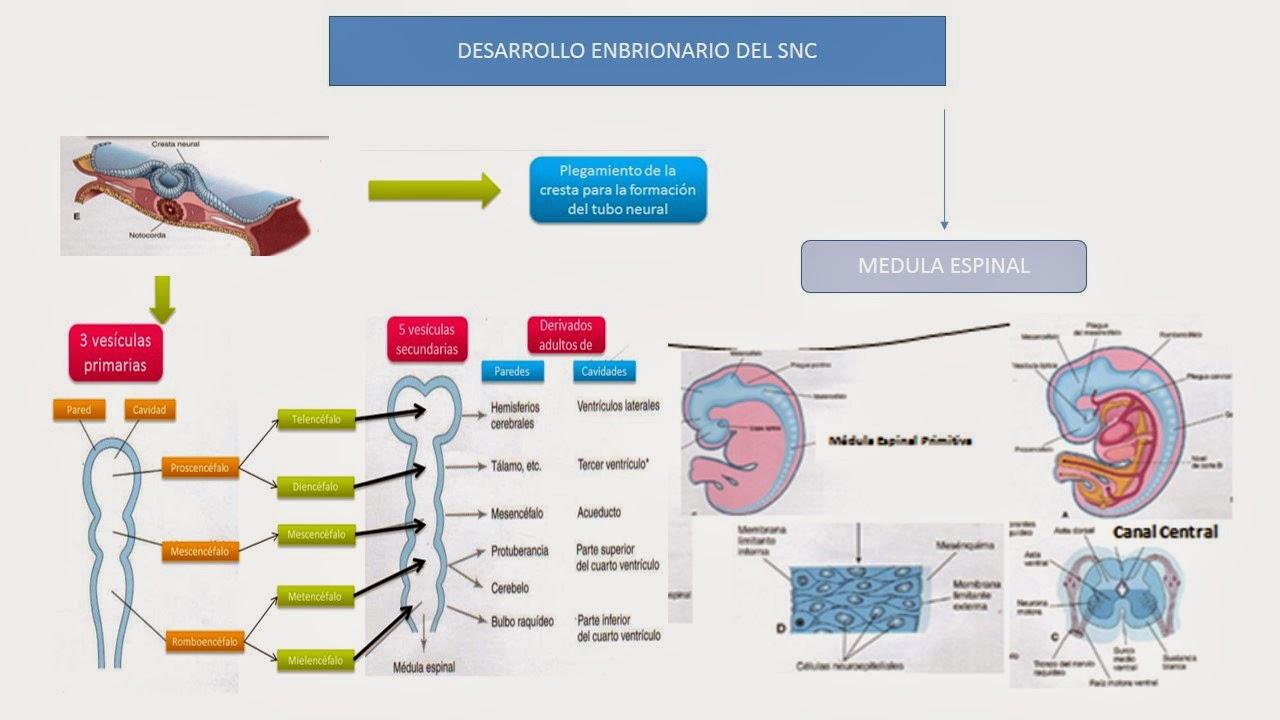 Fisiología básica de alejandra sandoval: esquema embriogenesis del SNC
