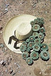 Péyotl del Desierto