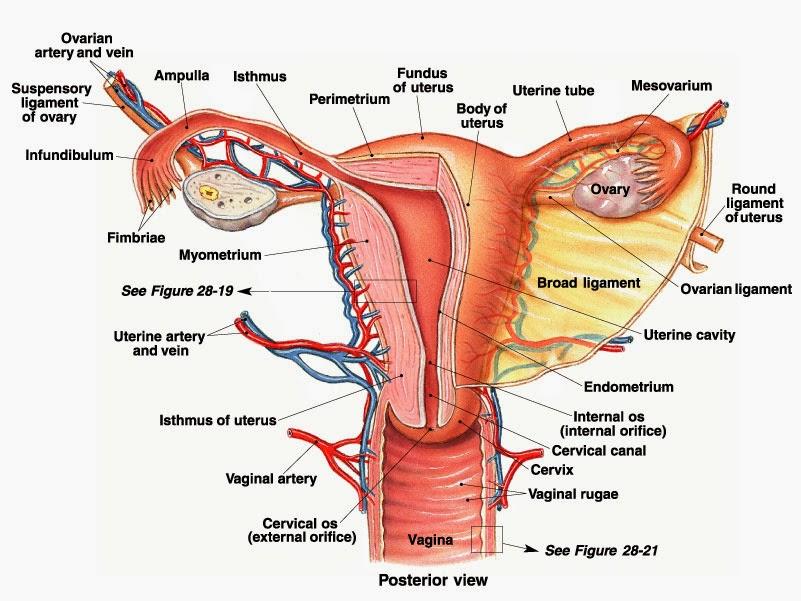 Rahim Wanita