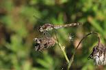 Vliegende Insekten