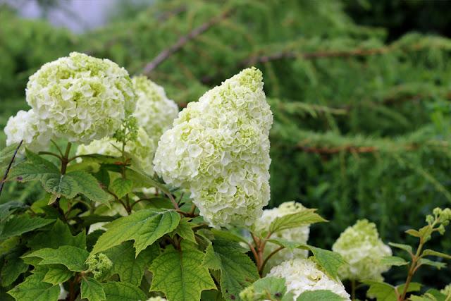 Gatsby Moon oakleaf hydrangea from Proven Winners