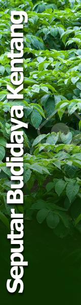 Seputar Budidaya Kentang