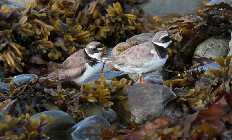 Semipalmated Vs Common Ringed Plover