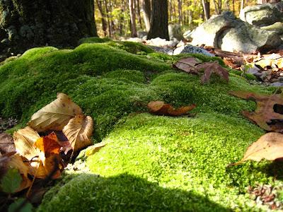 Mossy Moss at Hawk Mountain Sanctuary Kempton Pennsylvania PA 19529