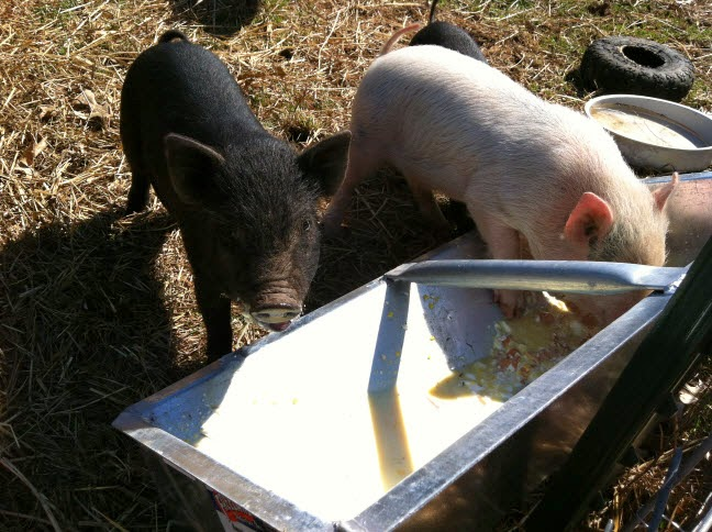 American Guinea Hog piglets drinking raw Jersey cow milk and eating backyard chicken eggs