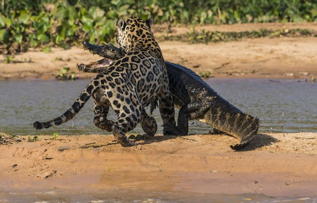 jaguar who turned into jaws 09 Video Dan Gambar Pertarungan Sengit Jaguar Dan Buaya