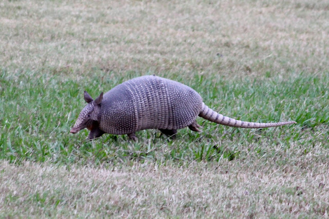 Armadillo on the Run-Brazos Bend State Park, Needville, Texas