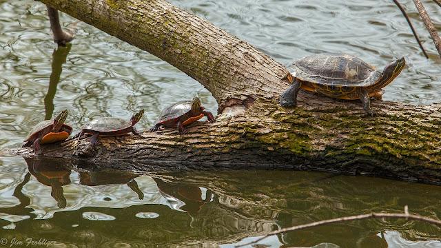 Imagenes de Tortugas en un rio