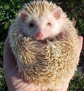 Everything about pets mini hedgehog kind of mini hedgehogs
