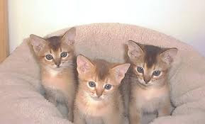 ruddy abyssinian kittens - Tawny - Usual
