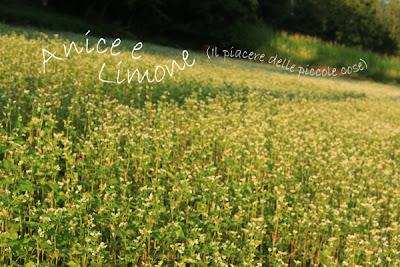 un campo di grano saraceno
