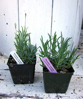 french intermedia lavender plants