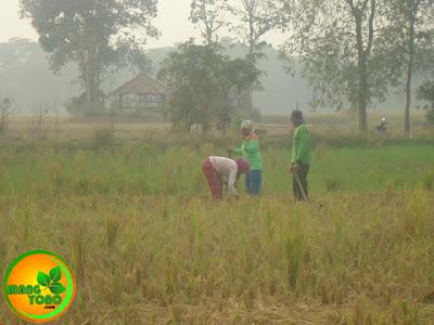 FOTO 3 : Penanaman kacang ijo dilakukan 2 orang