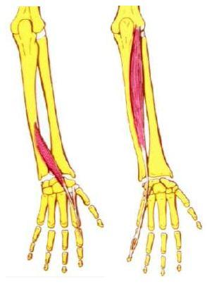 FisioActividad: Sistema neuromuscular del nervio radial.
