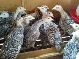 Peluang Usaha Ternak Ayam Kalkun