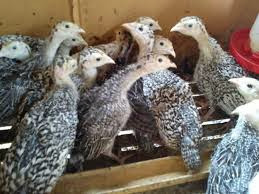 Teknik Ternak Ayam Kalkun