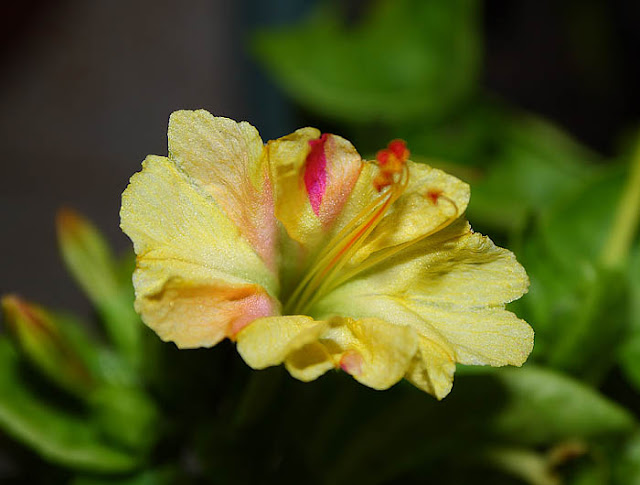 Mirabilis jalapa (The four o'clock flower) pale yellow broken colour flower