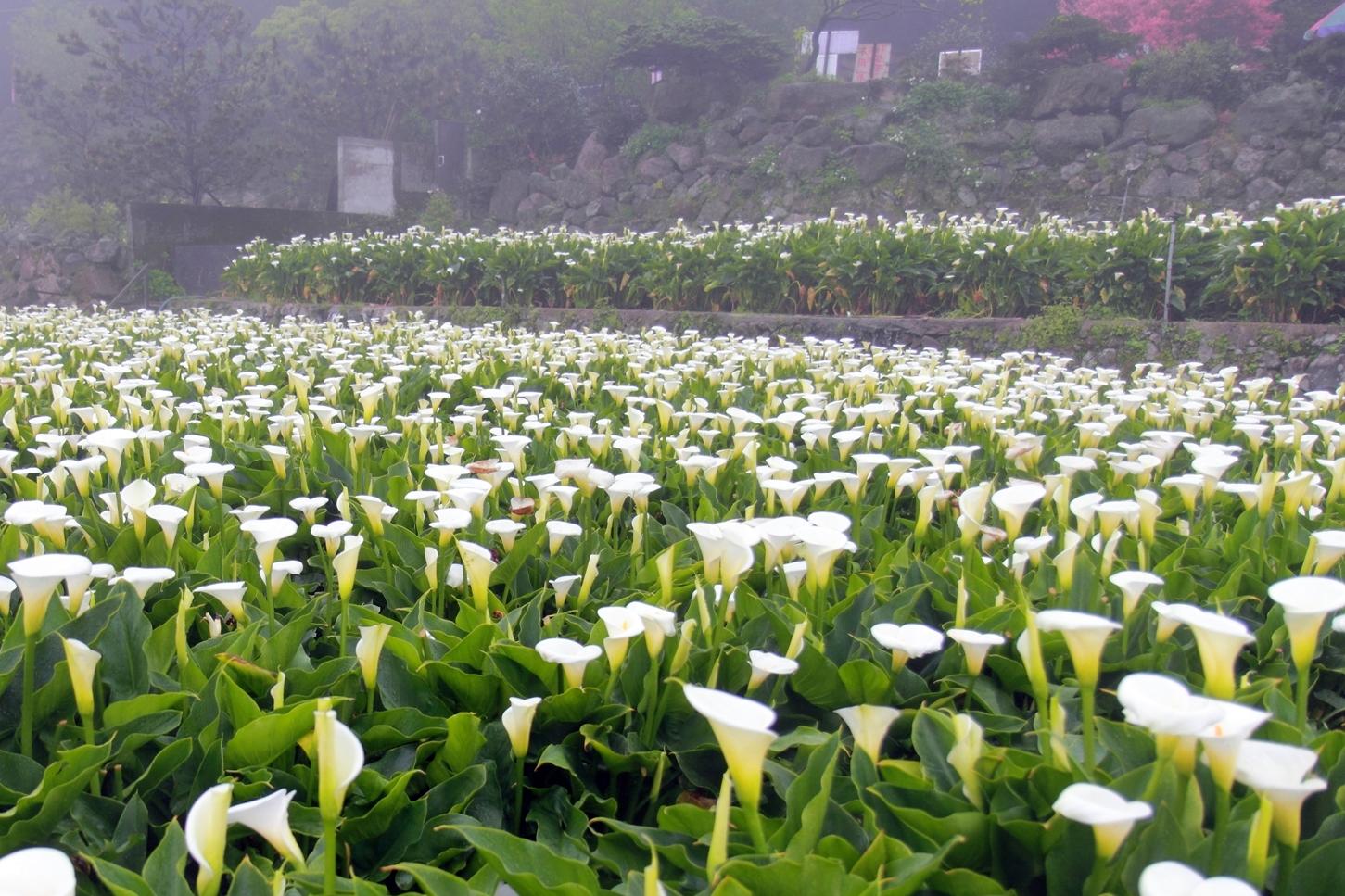 Only in taiwan taiwan in depth calla lily in taipei yangmingshan 201613 izmirmasajfo