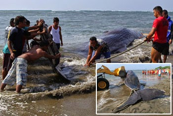 Whale found in La Union shore dies of illness due to parasitic infections