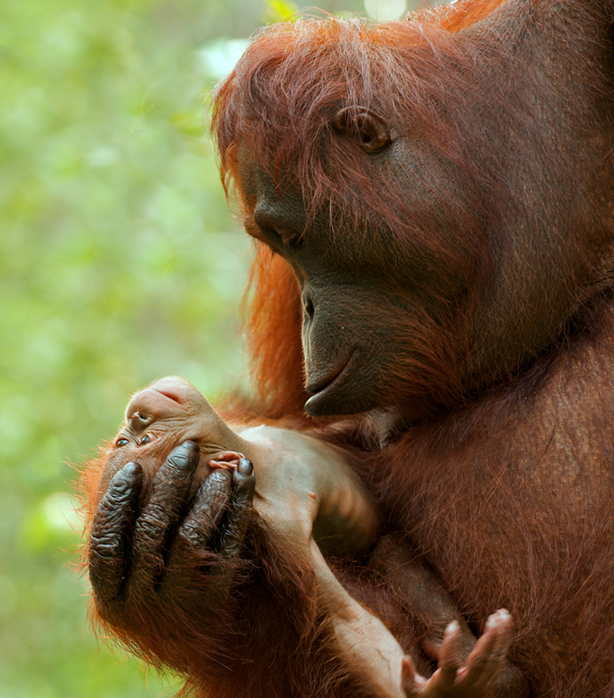 the orangutans June or september – to avoid the rush of visitors coming to see the orangutans  in borneo in july and august visit during shoulder season there will be way.