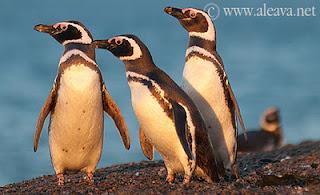 Penguin in Punta Tombo San Lorenzo and Peninsula Valdes