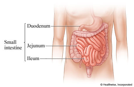 Outline the function of the stomach, small intestine and large ...
