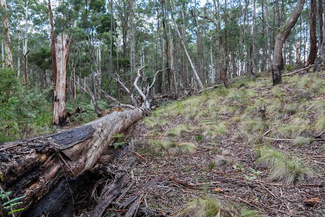fallen tree wombat state forest