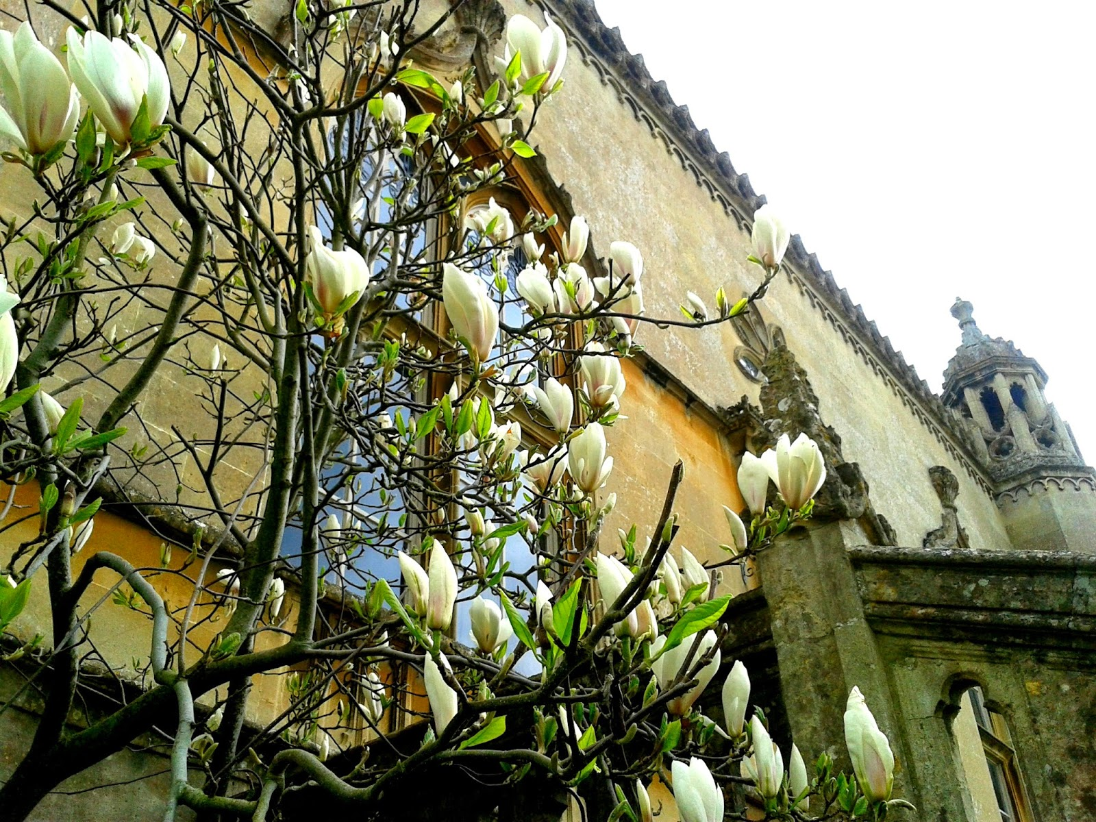 Project 365 day 100 - Magnolia at Lacock Abbey // 76sunflowers