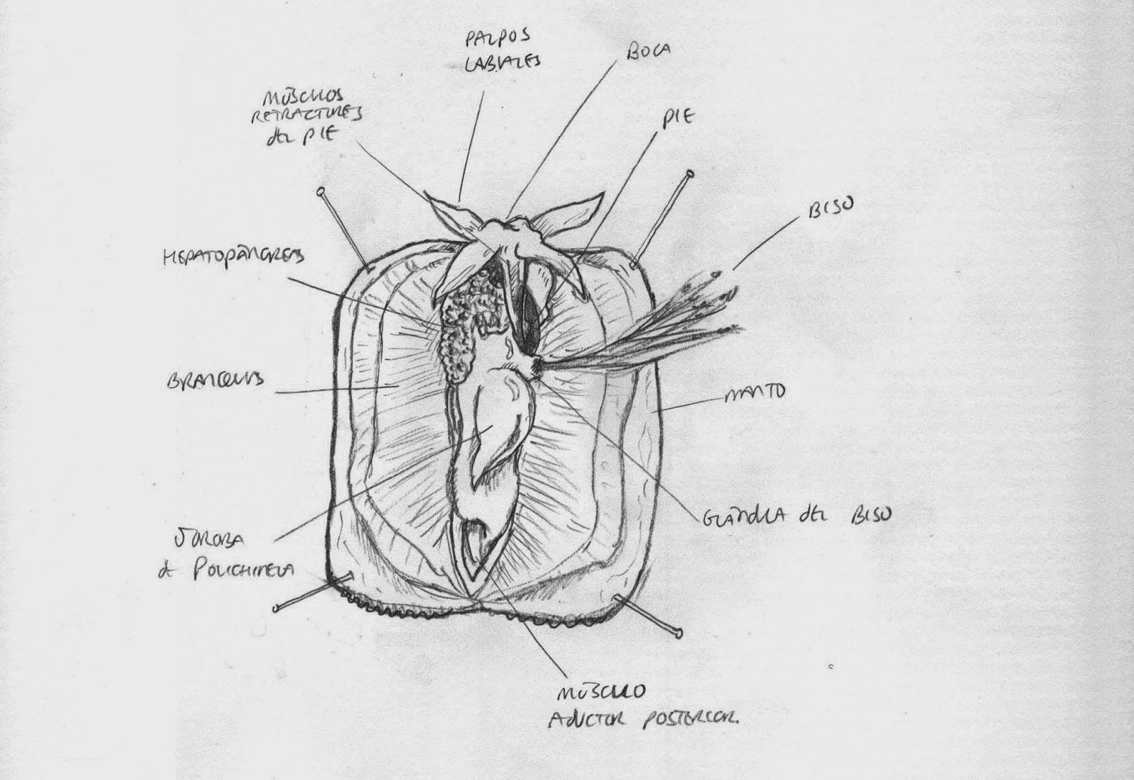 UN AMBIENTALISTA: Disección de un mejillón