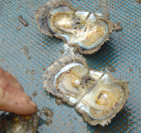 Live oysters with pearls inside - photo#24