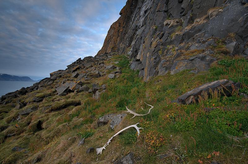 põhjapõdra sarved Teravmägedel, antlers of Svalbard reindeer (Rangifer tarandus)