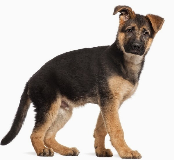 Grooming Your Long Haired German Shepherd Puppy