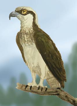 RYBOŁÓW ( Pandion haliaetus )