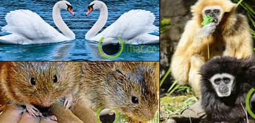 10 Binatang ini hanya Mencintai Satu Pasangan sampai Mati