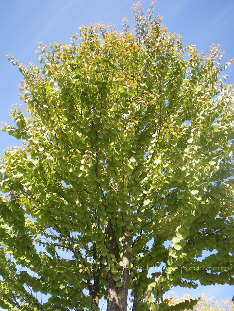 Cercidiphyllum japonicum - the moon- tree, Katsura tree