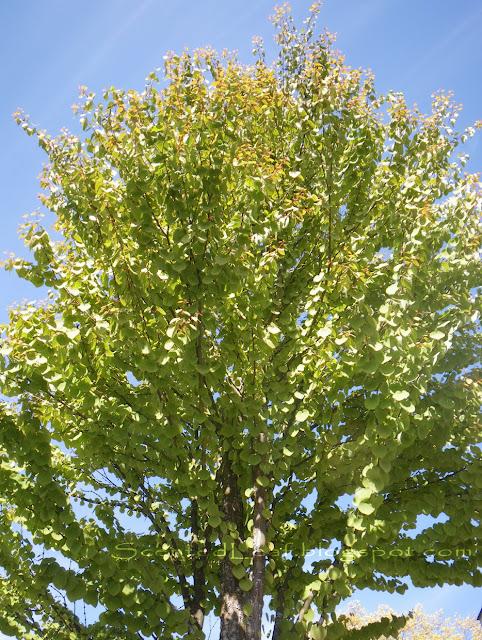 Cercidiphyllum japonicum - the moon- tree, Katsura tree