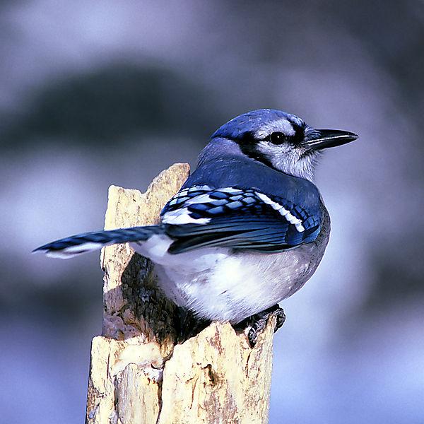 foto-burung-blue-jay