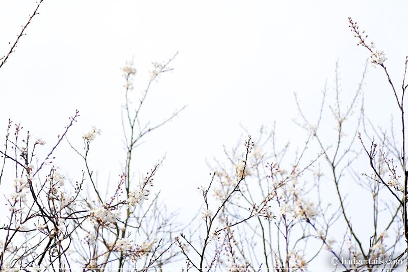 White Blossom against cloudy sky
