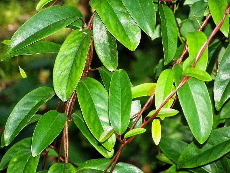 Sandraberry (珊杜拉莓果TM) 的機能性研究 - 五味子成分提取