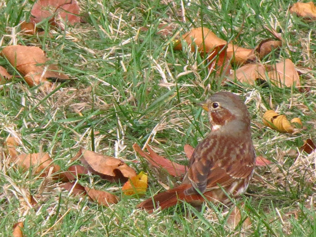 fox sparrow back