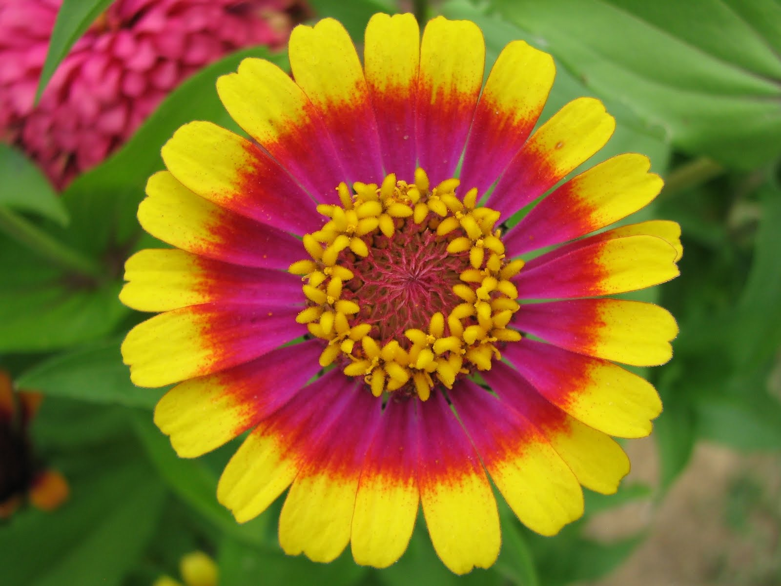 A Spoonful Of Sugar Friday Flower Zinnia