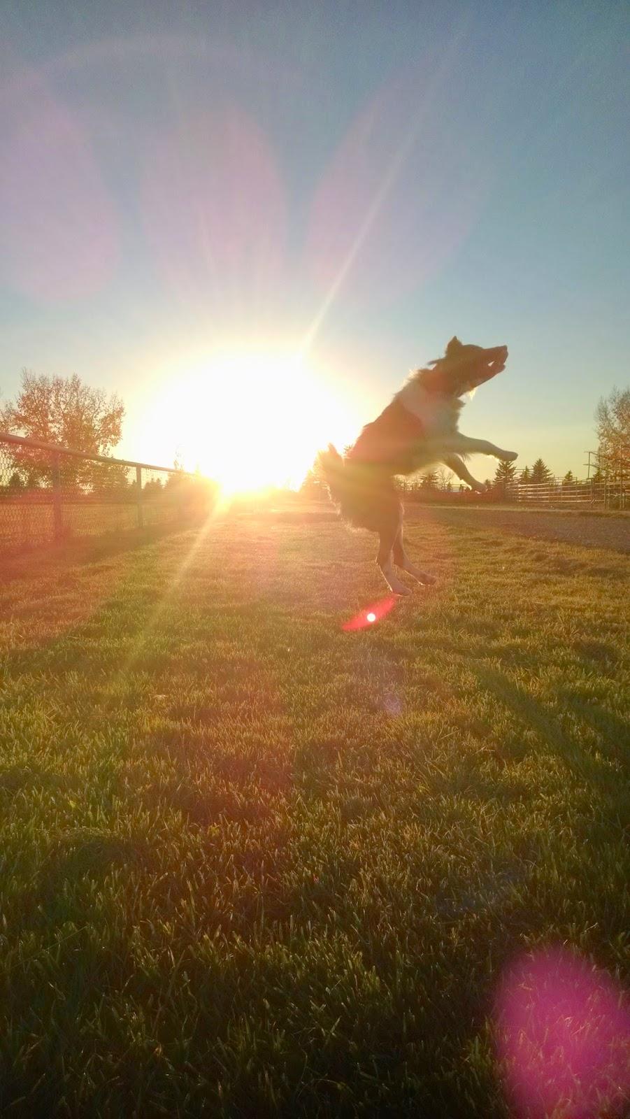 Herding dog, border collie, fetching