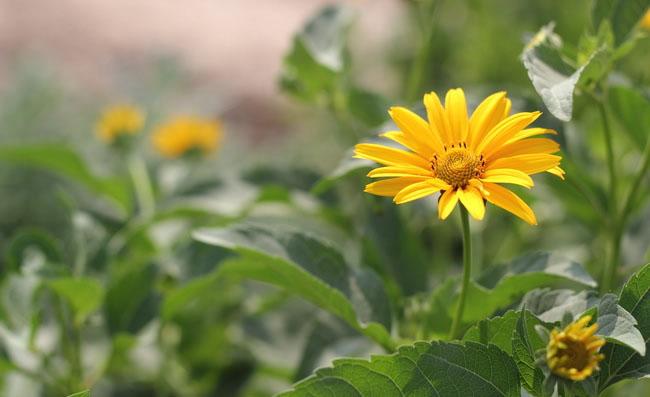 False Sunflower