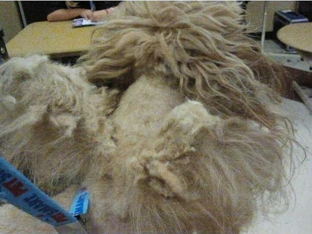 Groomed dog