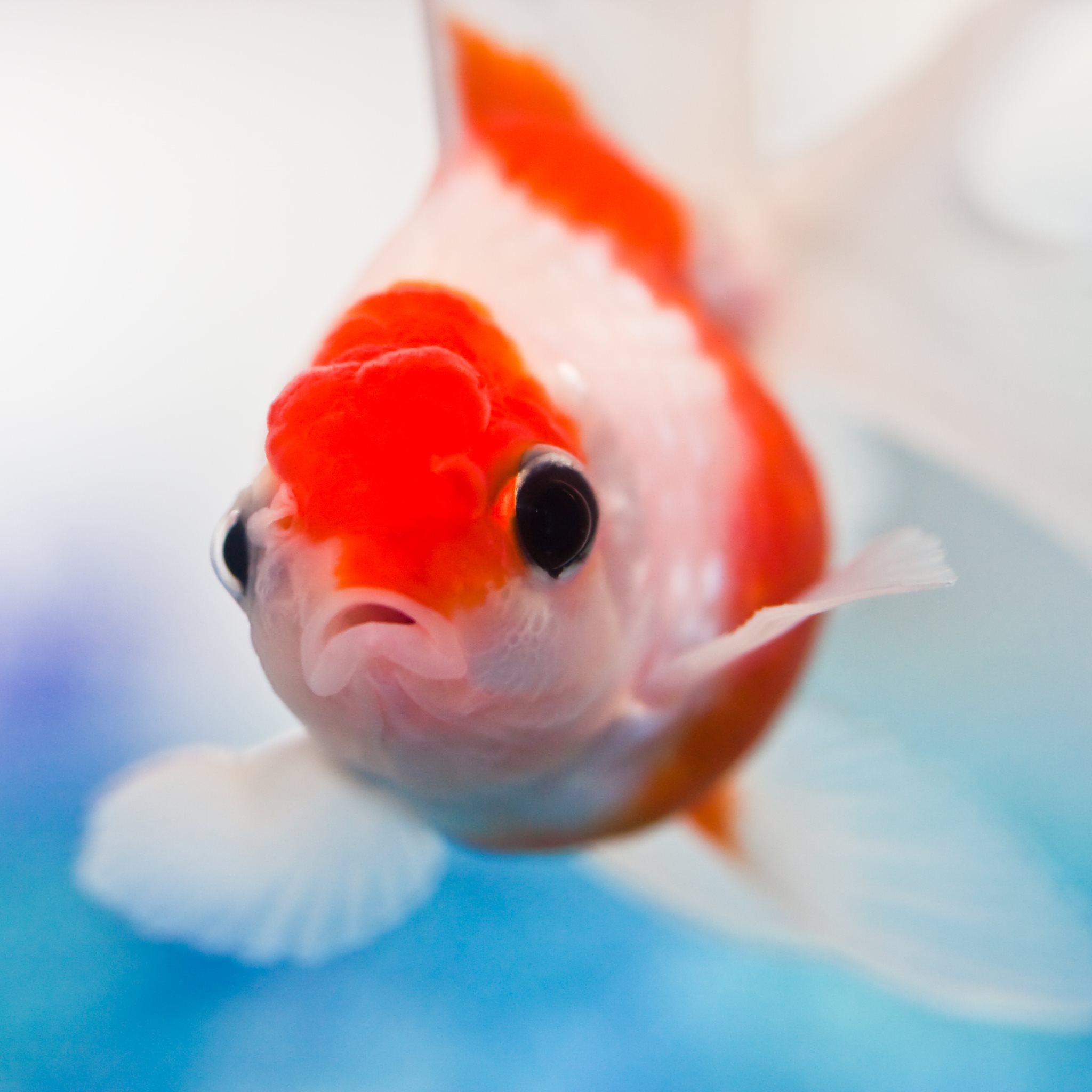 ... Orange Goldfish Goldfish for ipad: 2048x2048 Black And Orange Comet
